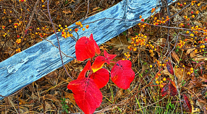 Colorful Poison Ivy On Cape Cod.