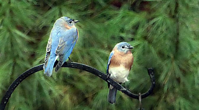Lots of Bluebirds Here On Cape Cod.