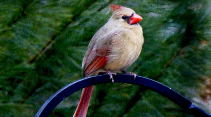 Beautiful Female Northern Cardinal At Our Feeder On Cape Cod