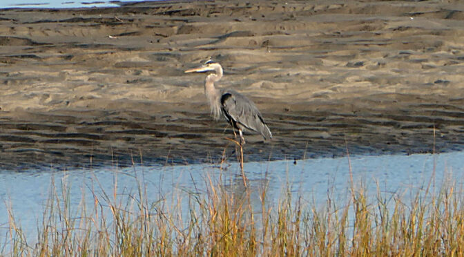Beautiful Great Blue Heron Looking For Breakfast On Cape Cod.