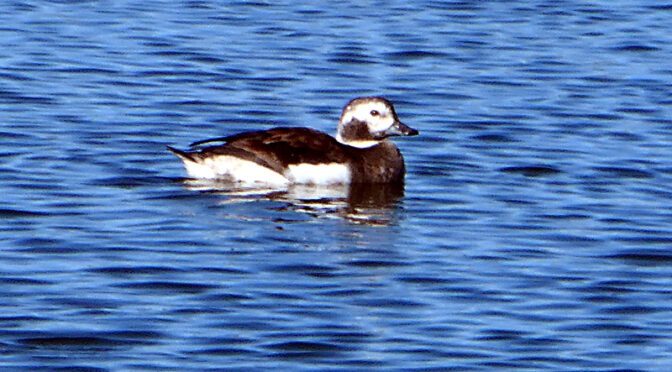 Long-Tailed Duck At Boat Meadow Creek On Cape Cod.