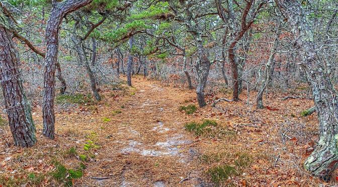 White Cedar Swamp Trail In Wellfleet On Cape Cod.