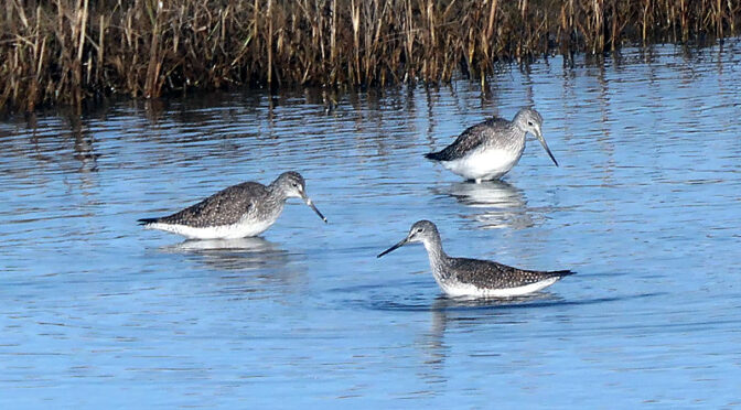 Greater Yellowlegs At Boat Meadow Beach On Cape Cod.