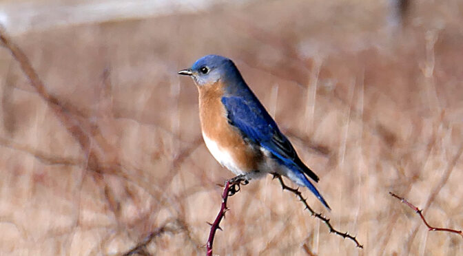 Beautiful Eastern Bluebird At Fort Hill On Cape Cod.