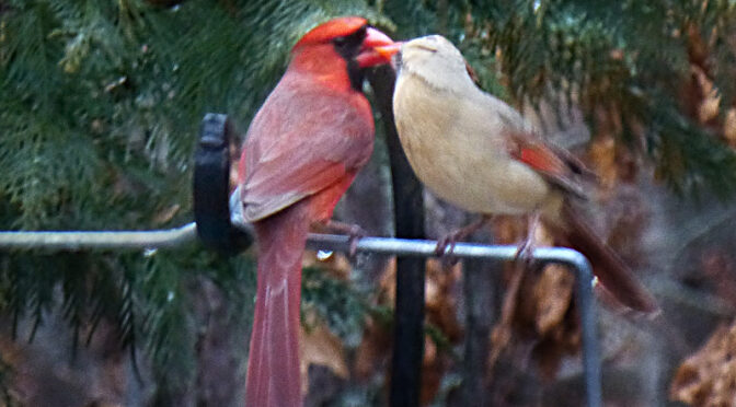 Red And Birdie Wish You A Happy Valentine's Day From Cape Cod!