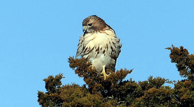 Beautiful Red-Tailed Hawk On Cape Cod.