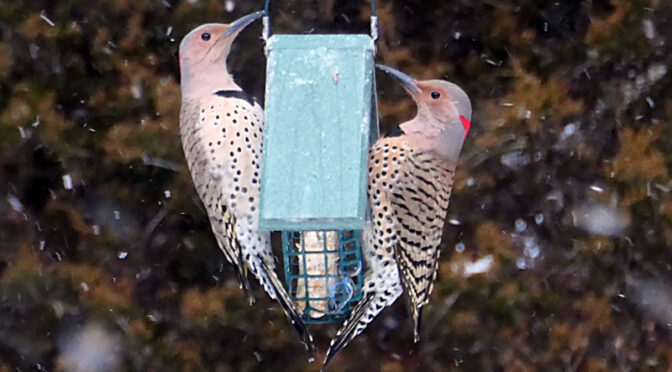 Two Northern Flickers On The Suet In Our Yard On Cape Cod.