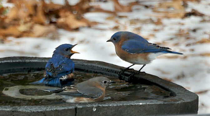 Bluebirds Enjoying A Bath In Our Heated Birdbath On Cape Cod.