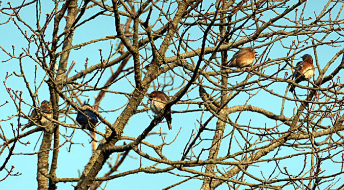 Bluebirds High In The Tree On A Cold Morning On Cape Cod.