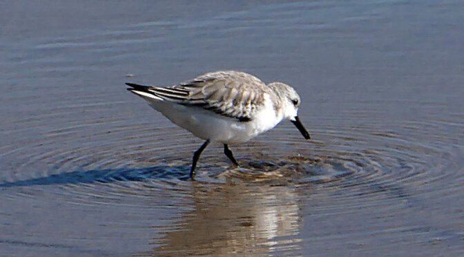 Love The Little Sanderlings At Coast Guard Beach On Cape Cod.