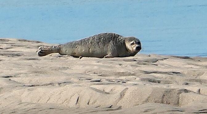 Lazy Seal On Nauset Marsh Sandbar On Cape Cod.