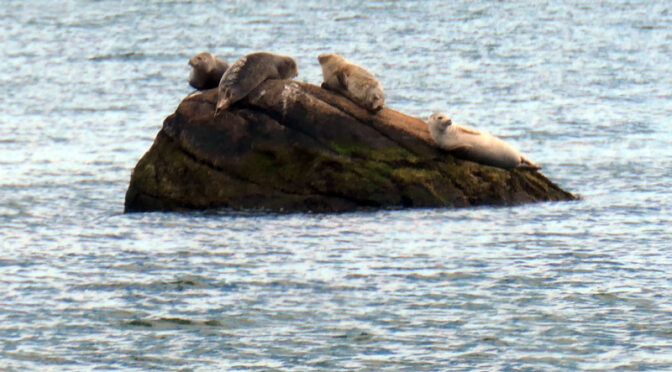 Who Is Sunning Themselves On The Rocks In Pleasant Bay On Cape Cod?