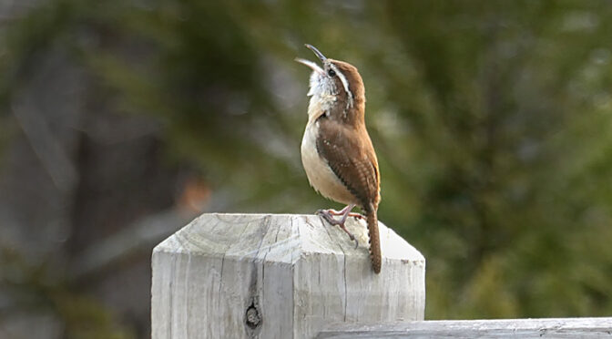 Serenaded By A Little Carolina Wren In Our Yard On Cape Cod.