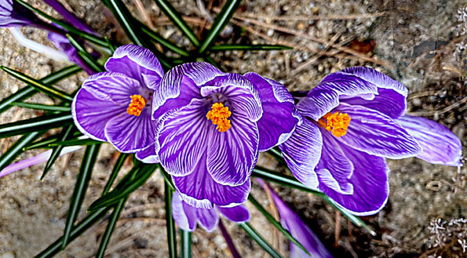 Springtime Crocuses On Cape Cod… From A Different Angle!