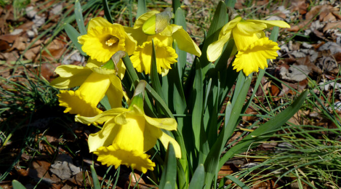 Beautiful Yellow Daffodils On Cape Cod For Easter!