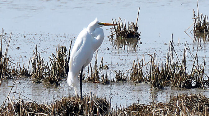Beautiful Great Egret At Nauset Marsh On Cape Cod.