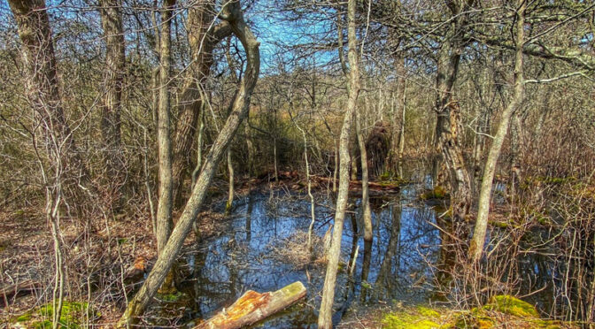 The Bogs On Red Maple Trail On Cape Cod.