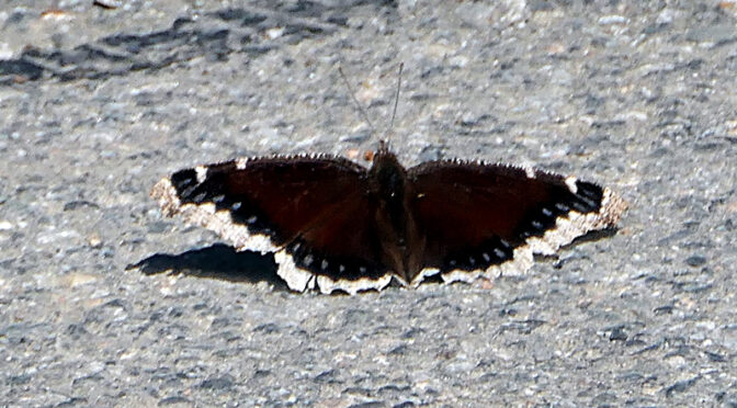 Beautiful Mourning Cloak Butterfly On Cape Cod!