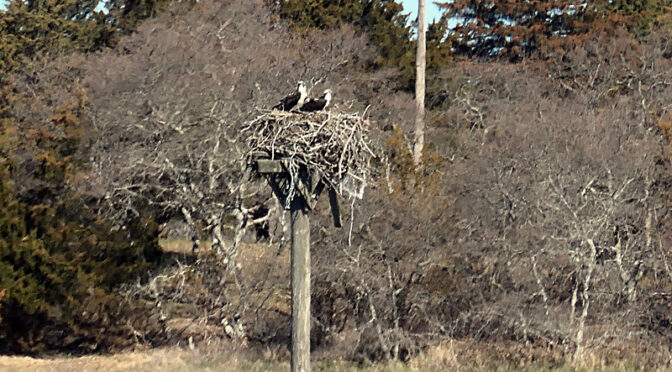 The Osprey Are Back On Cape Cod!