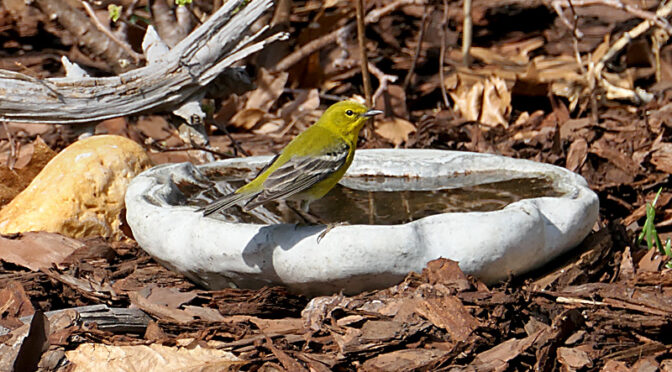 Adorable Pine Warbler Taking a Bath In Our Yard On Cape Cod.