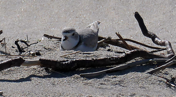 Courting Piping Plovers On Coast Guard Beach on Cape Cod: Part II.