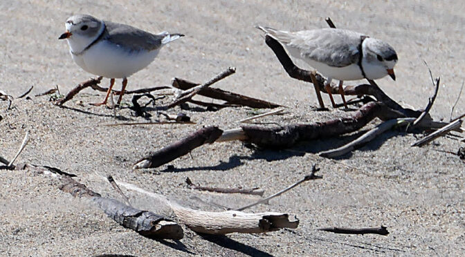 Piping Plovers At Coast Guard Beach On Cape Cod: Part I.