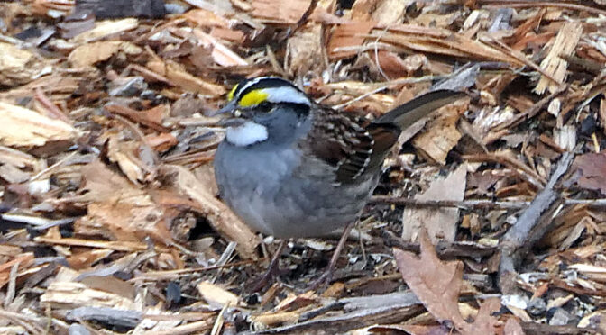 Gorgeous White-Throated Sparrow In Our Yard On Cape Cod.