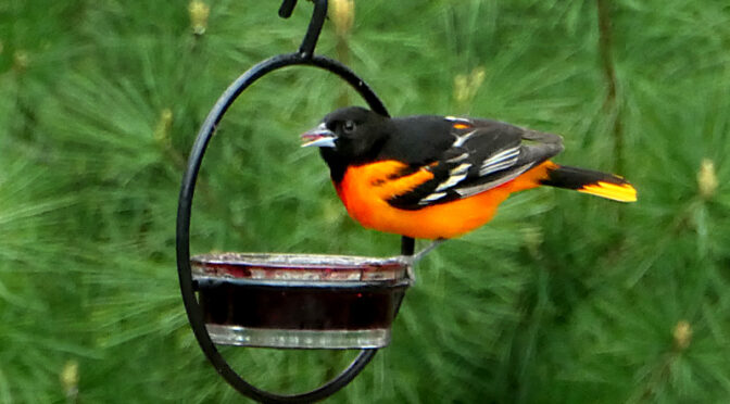 The Baltimore Orioles Are Back On Cape Cod!