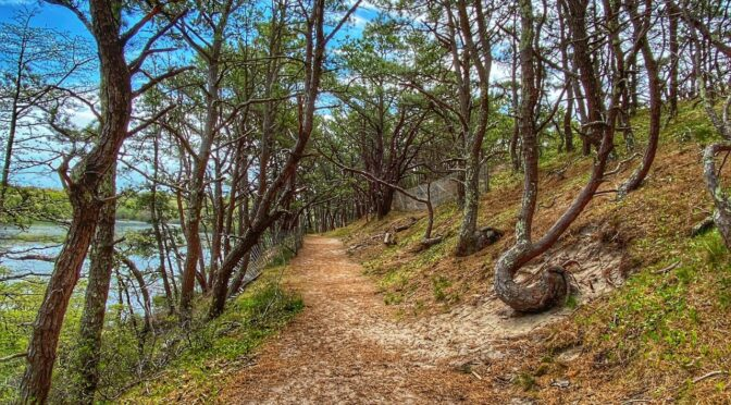 Love The Trees On Beech Forest Trail In Provincetown On Cape Cod.
