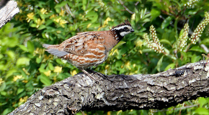 Gorgeous Northern Bobwhite At Fort Hill On Cape Cod!