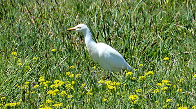 Beautiful, White Cattle Egret At Fort Hill On Cape Cod.