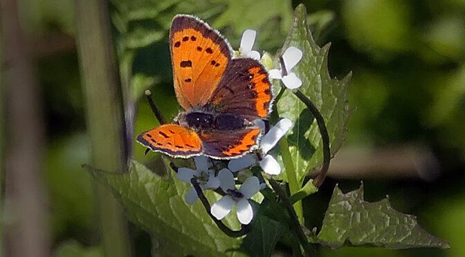Beautiful Little Copper Butterfly On Cape Cod.