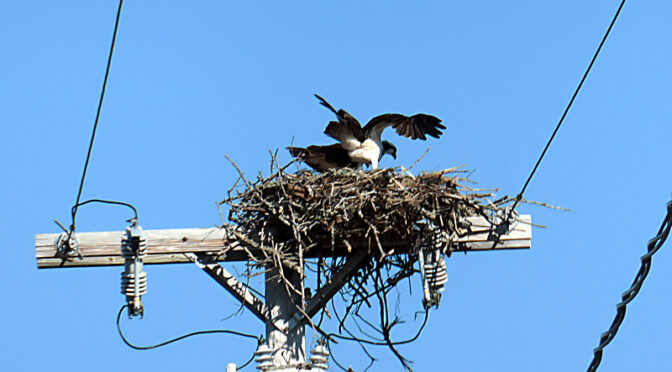 Watching The Osprey Build A Nest On Cape Cod.