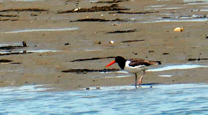 The American Oystercatchers Are Back On Cape Cod!