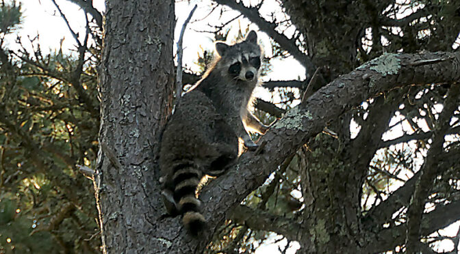 Huge Raccoon High In The tree In  Our Yard On Cape Cod!