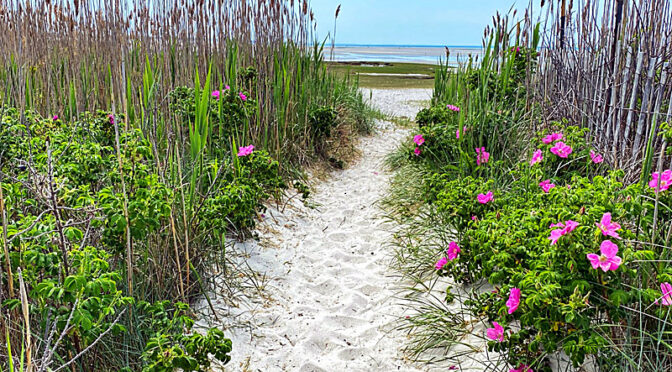 The Wild Roses are Blooming On The Beach Trails On Cape Cod.
