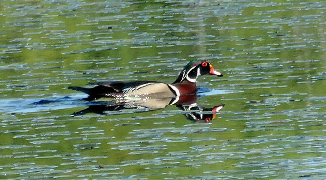 Colorful Wood Duck At Beech Forest Trail In Provincetown On Cape Cod.