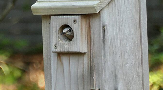 Baby Bluebirds On Cape Cod Are Still In Their Birdhouse!