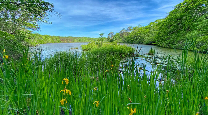 The Irises Were Blooming At This Provincetown Pond On Cape Cod.