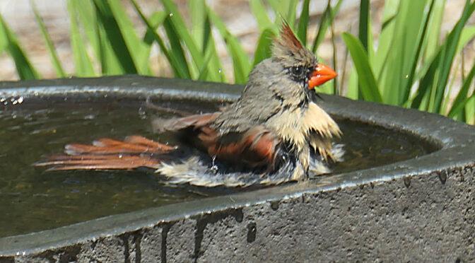 "Bathtime For ""Birdie"" On Cape Cod!"