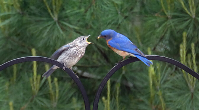 These Baby Bluebirds On Cape Cod Are Way Too Cute!
