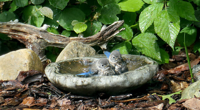 Bluebird Babies Taking A Bath At Our Home On Cape Cod.
