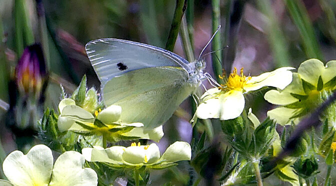 Pretty Cabbage White Butterfly On Cape Cod.