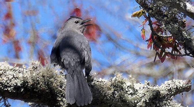Chatty Catbirds Are Here On Cape Cod!