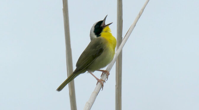 Beautiful Common Yellowthroat At Fort Hill On Cape Cod.