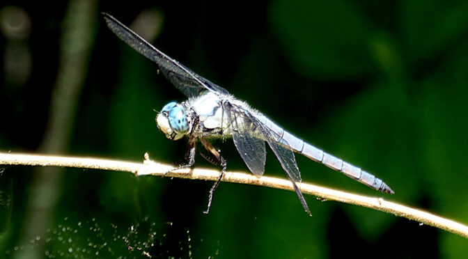 Cool Dragonfly On The Trail On Cape Cod.