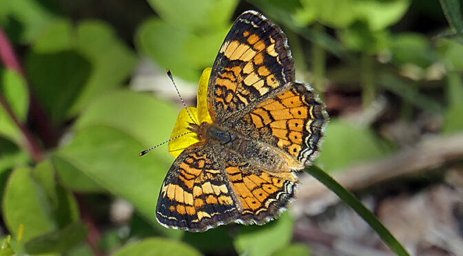 Beautiful Orange And Brown Pearl Crescent Butterfly On Cape Cod.
