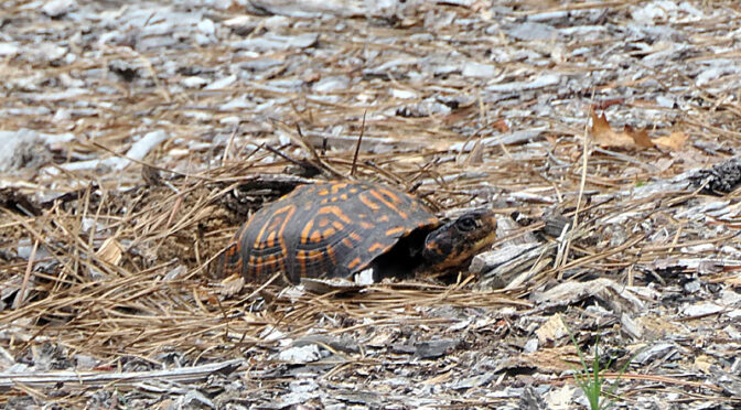 This Eastern Box Turtle Laid Her Eggs In Our Yard On Cape Cod!
