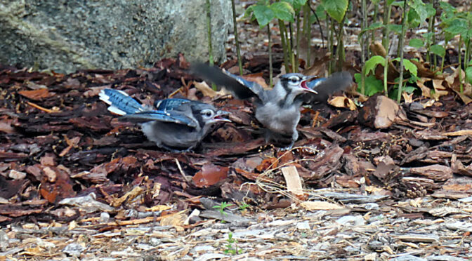 Baby Blue Jays In Our Yard On Cape Cod.