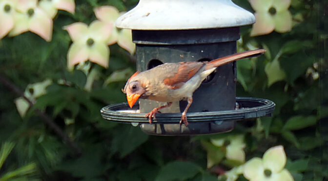 Adorable Little Northern Cardinal Chick On Cape Cod.